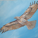 Hawk, Acrylic by Chris O'Dell Ferguson