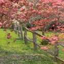 Dogwood Cherry Fence