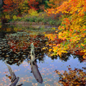 Fall Maple Eagle Pond by Ned Manter