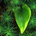 Green Heart by Ned Manter