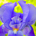 My Iris by Ned Manter